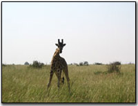Giraffe at Murchison Falls